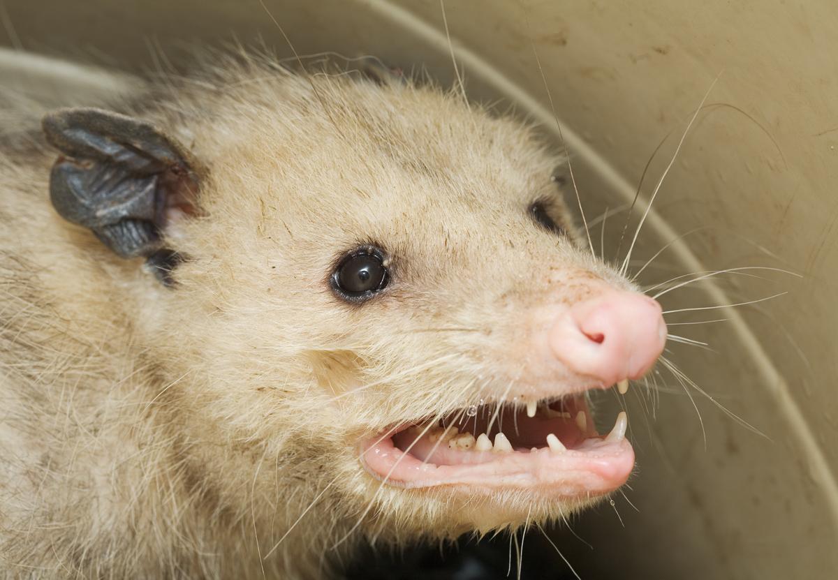 PNG Possum - 71612