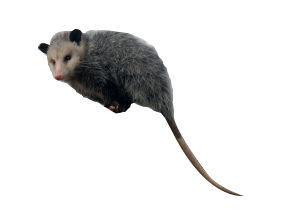 Gopher Repellent; Groundhog Repellent; Porcupine Repellent; Possum  Repellent PlusPng.com  - PNG Possum