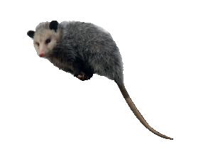 PNG Possum - 71601