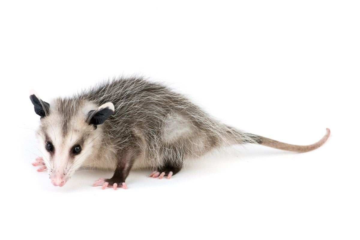 PNG Possum - 71597