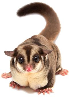 PNG Possum - 71602
