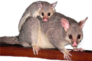 Possum with its Baby on its Back - PNG Possum