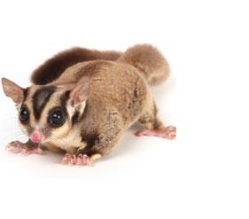 PNG Possum - 71606