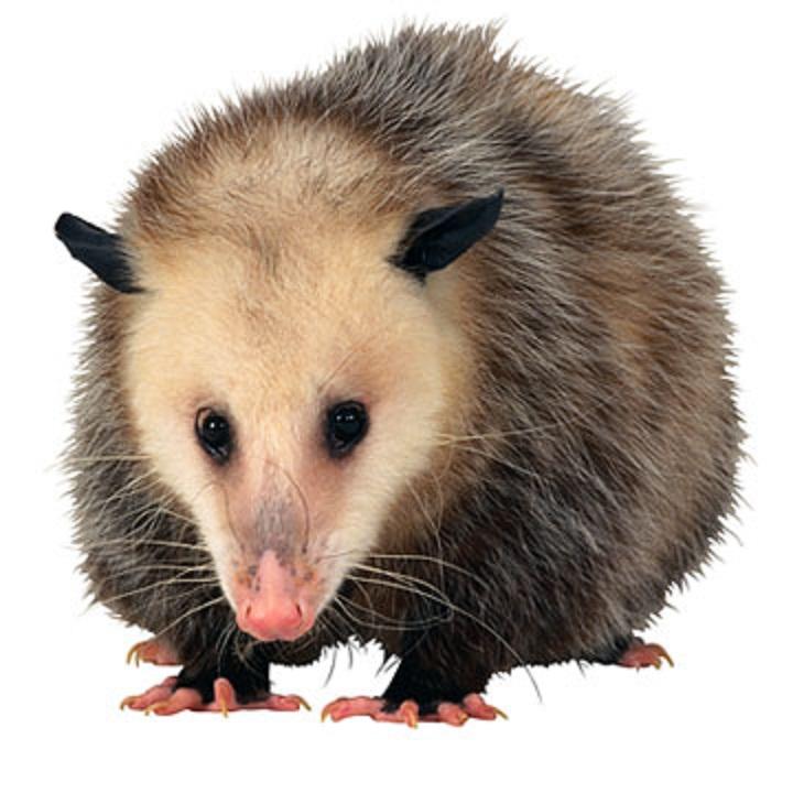 Thereu0027s PlusPng.com  - PNG Possum