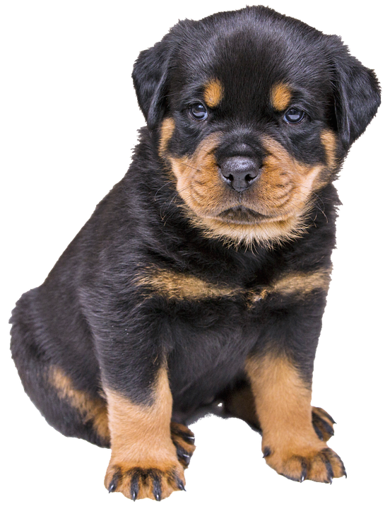 PNG Puppy Dog - 62198