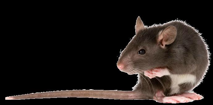 PNG Rat - 67623