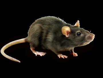 PNG Rat - 67624