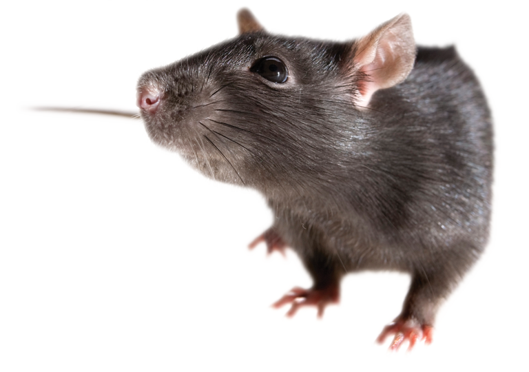 PNG Rat - 67627