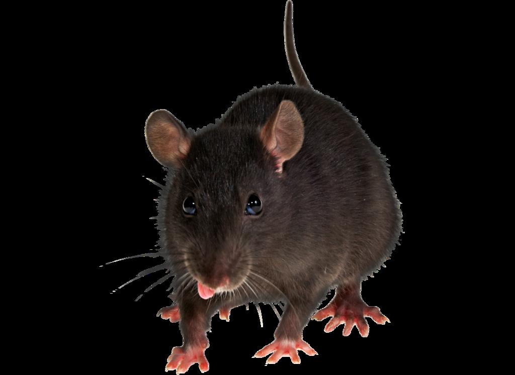 PNG Rat - 67634
