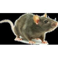 PNG Rat - 67628