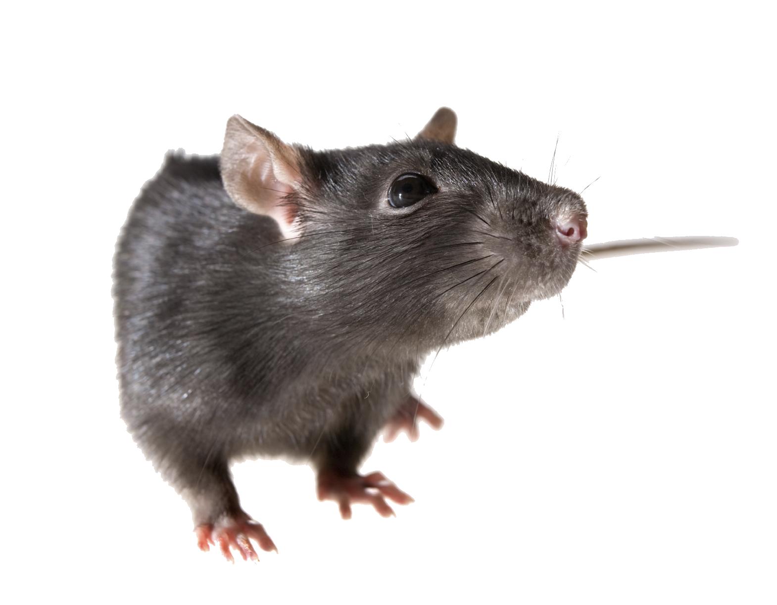 PNG Rat - 67631