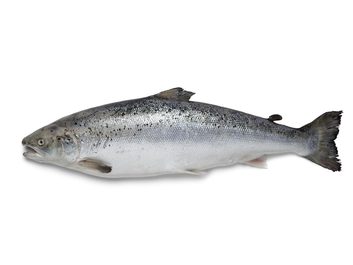 PNG Salmon Fish - 86343