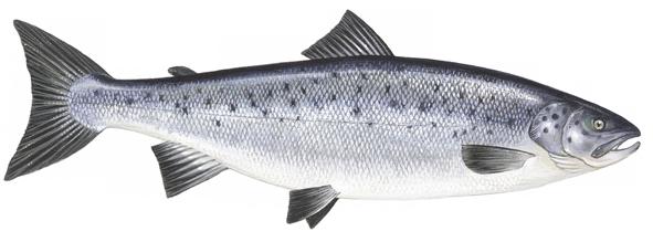 PNG Salmon Fish - 86333