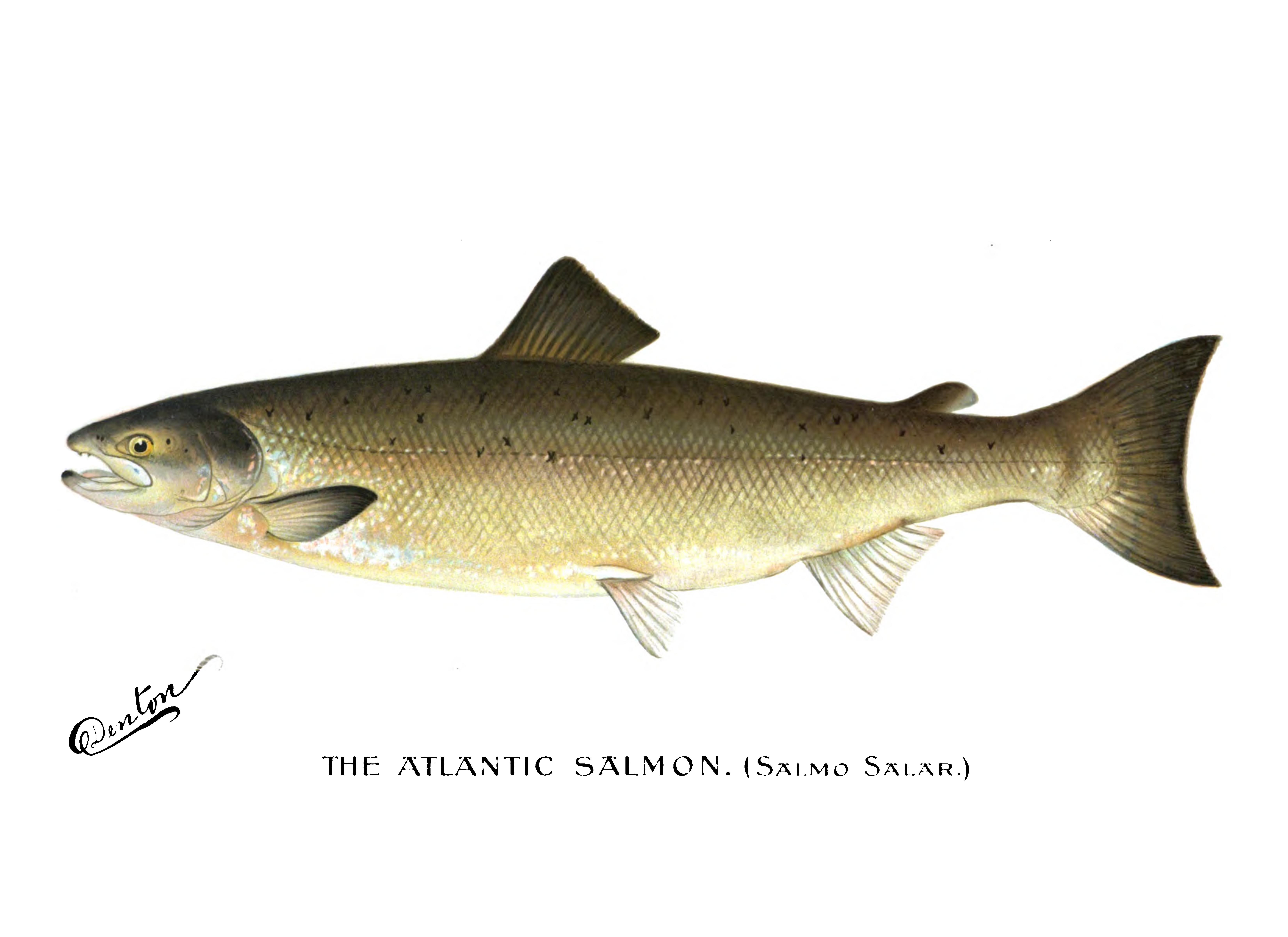 PNG Salmon Fish - 86337