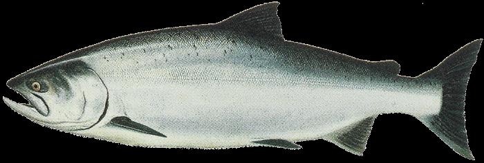 PNG Salmon Fish - 86334