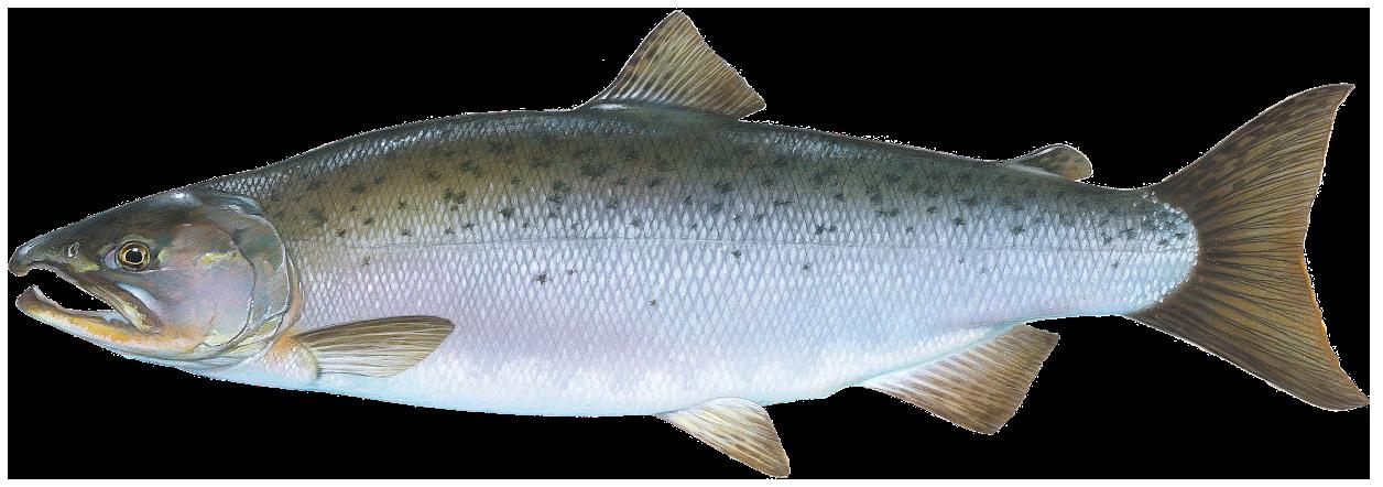 PNG Salmon Fish - 86335