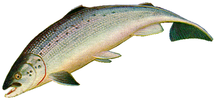 PNG Salmon Fish - 86341