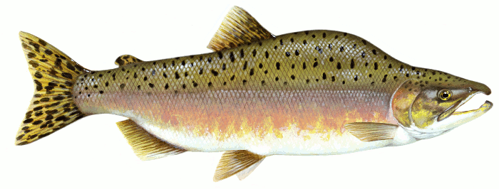 PNG Salmon Fish - 86347