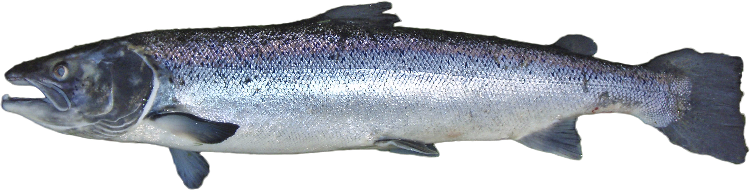 Png salmon fish transparent salmon fish png images pluspng for Salmon fish pictures