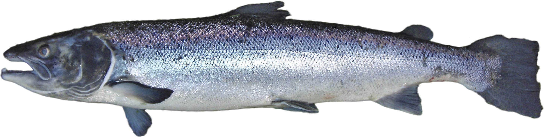 PNG Salmon Fish - 86344