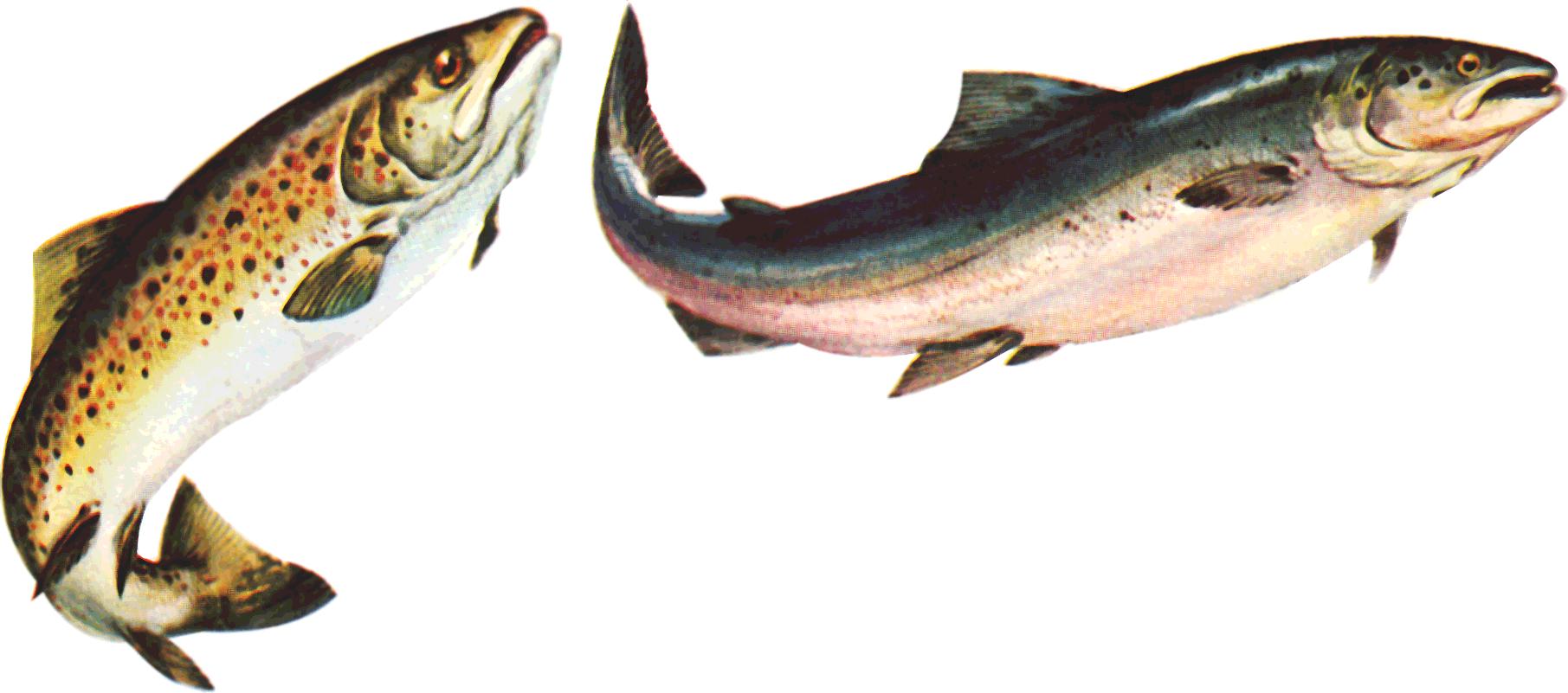 PNG Salmon Fish - 86342