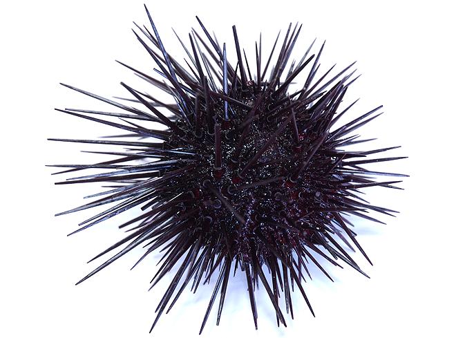 PNG Sea Urchin - 85055