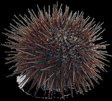 PNG Sea Urchin - 85059