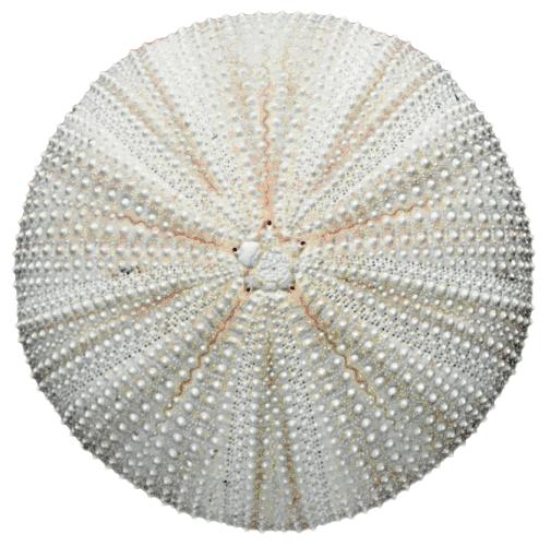 PNG Sea Urchin - 85070