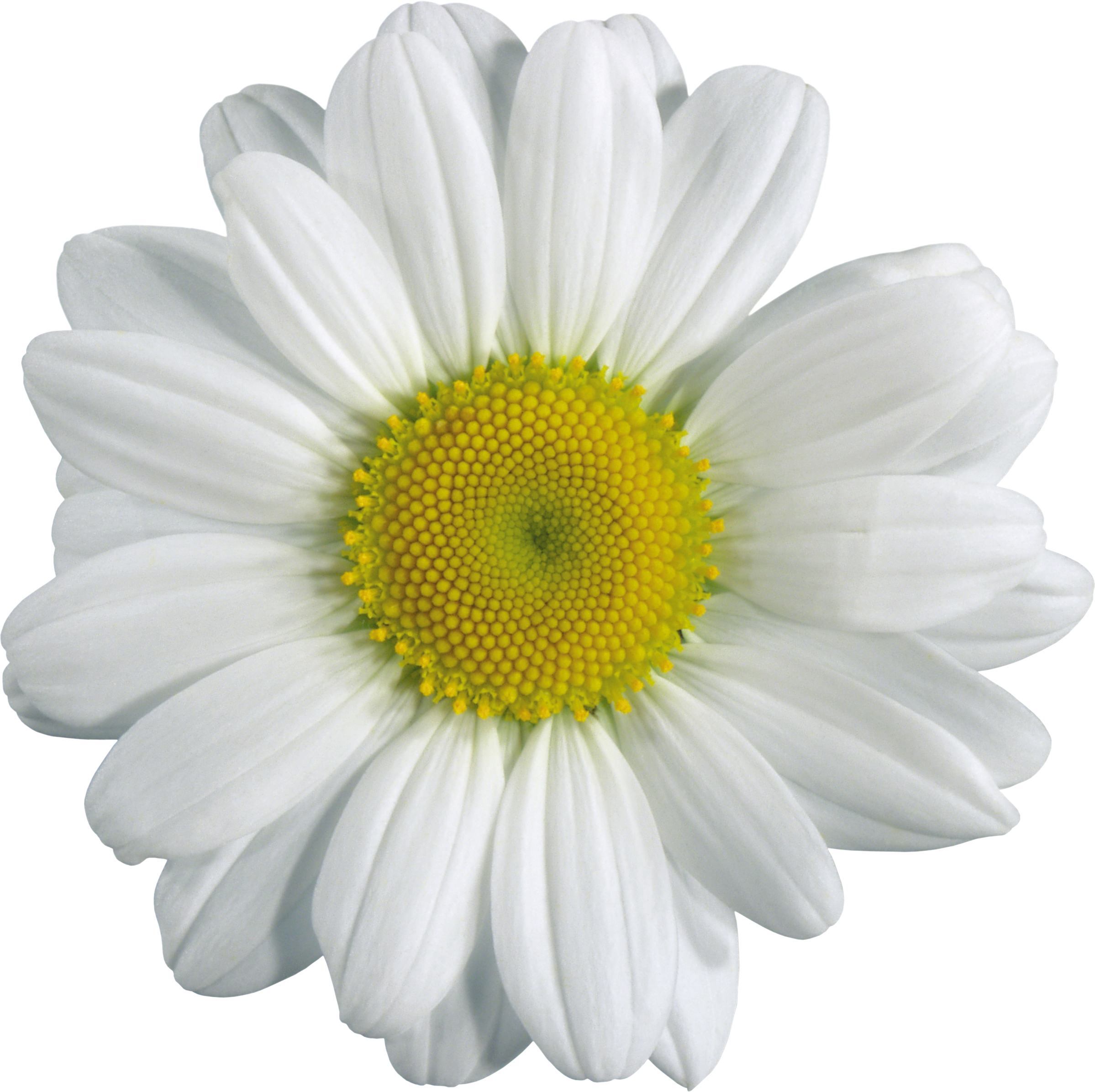 Camomile PNG image, free flower picture - PNG Single Flower