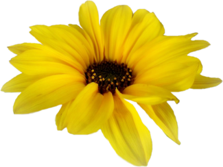 . PlusPng.com daisy-single-yellow.png PlusPng.com  - PNG Single Flower