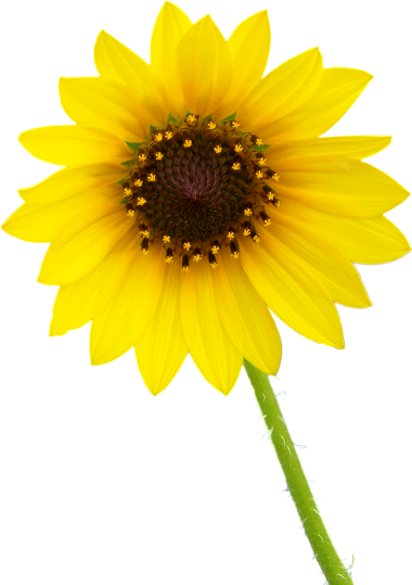 Download png images free - PNG Single Flower