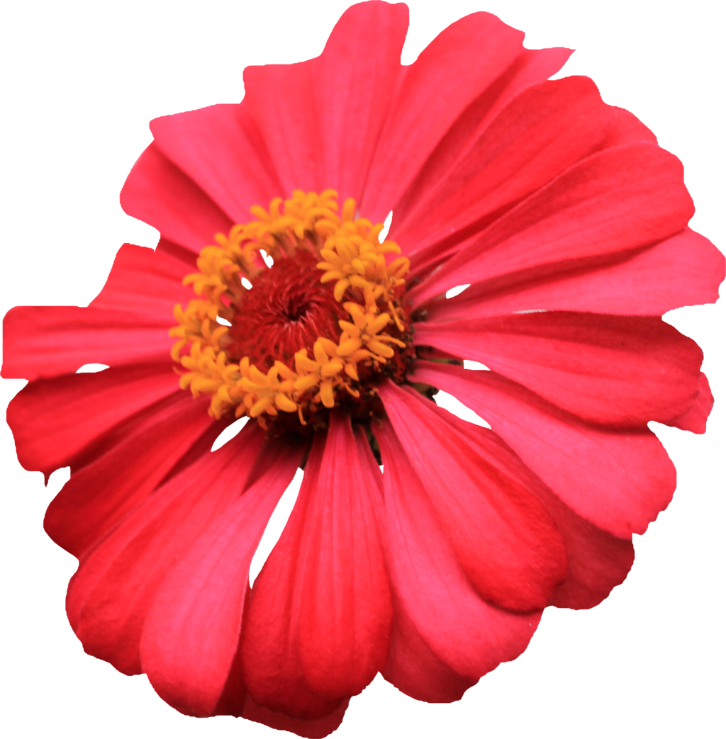 . PlusPng.com Red Single Layer Zinnia PNG by Thy-Darkest-Hour - PNG Single Flower