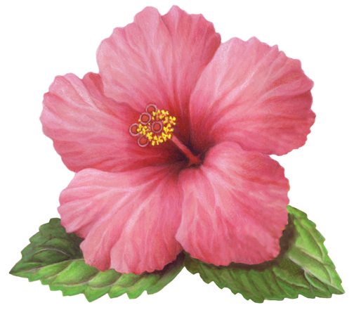 Single pink hibiscus flower with leaves - PNG Single Flower
