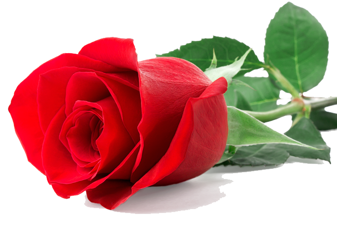 Single-Red-Rose.png (684×494). Flowers - PNG Single Flower