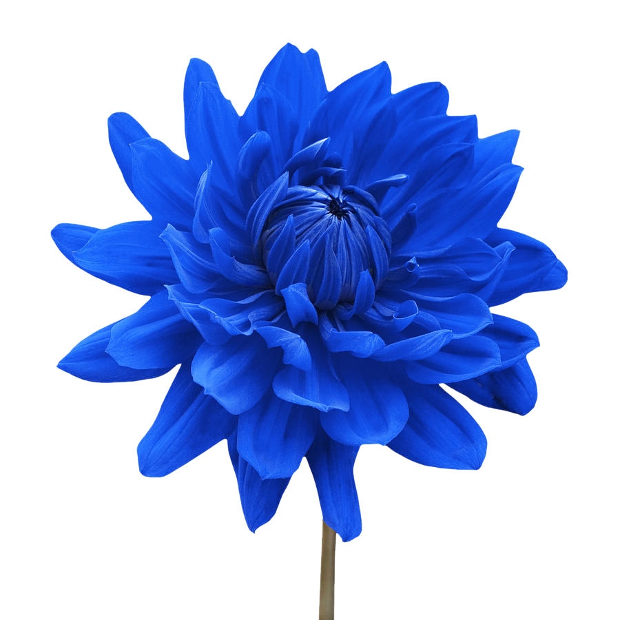 white flower png | blue dahlia flower white background natalie kinnear |  SYEDIMRAN - PNG Single Flower