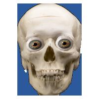 PNG Skeleton Head-PlusPNG.com-200 - PNG Skeleton Head
