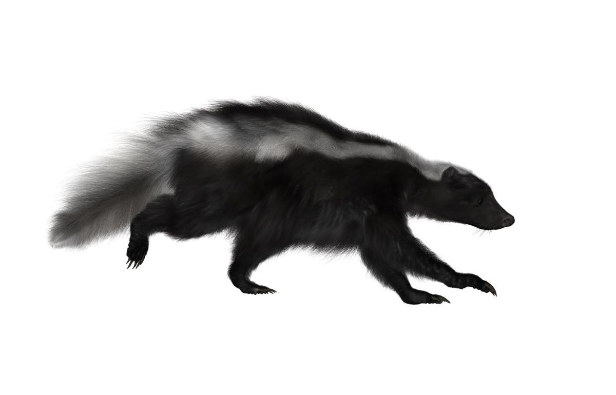 12 Skunk PNG by Crudelitas () - PNG Skunk