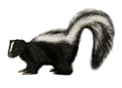 Skunk Control: Getting Rid of Skunks - Removal u0026 Treatment | Orkin  pluspng pluspng.com - PNG Skunk