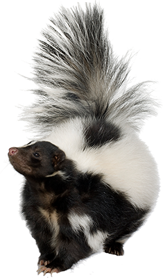 Skunk PNG - PNG Skunk