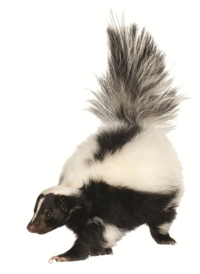 Why Do Skunks Spray? - PNG Skunk