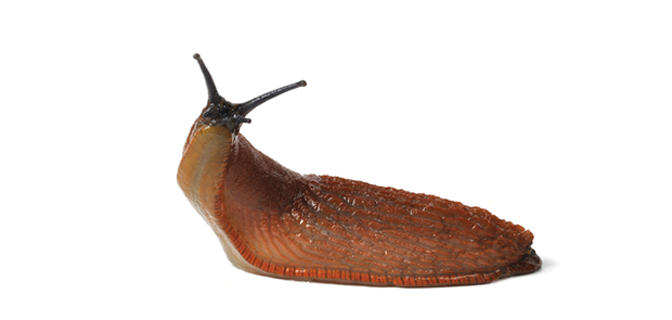 Metaldehyde: Slug Bait Toxicosis - PNG Slug
