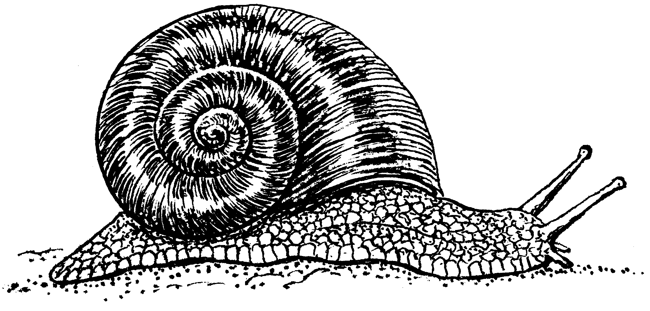 PNG Snail Black And White - 86824
