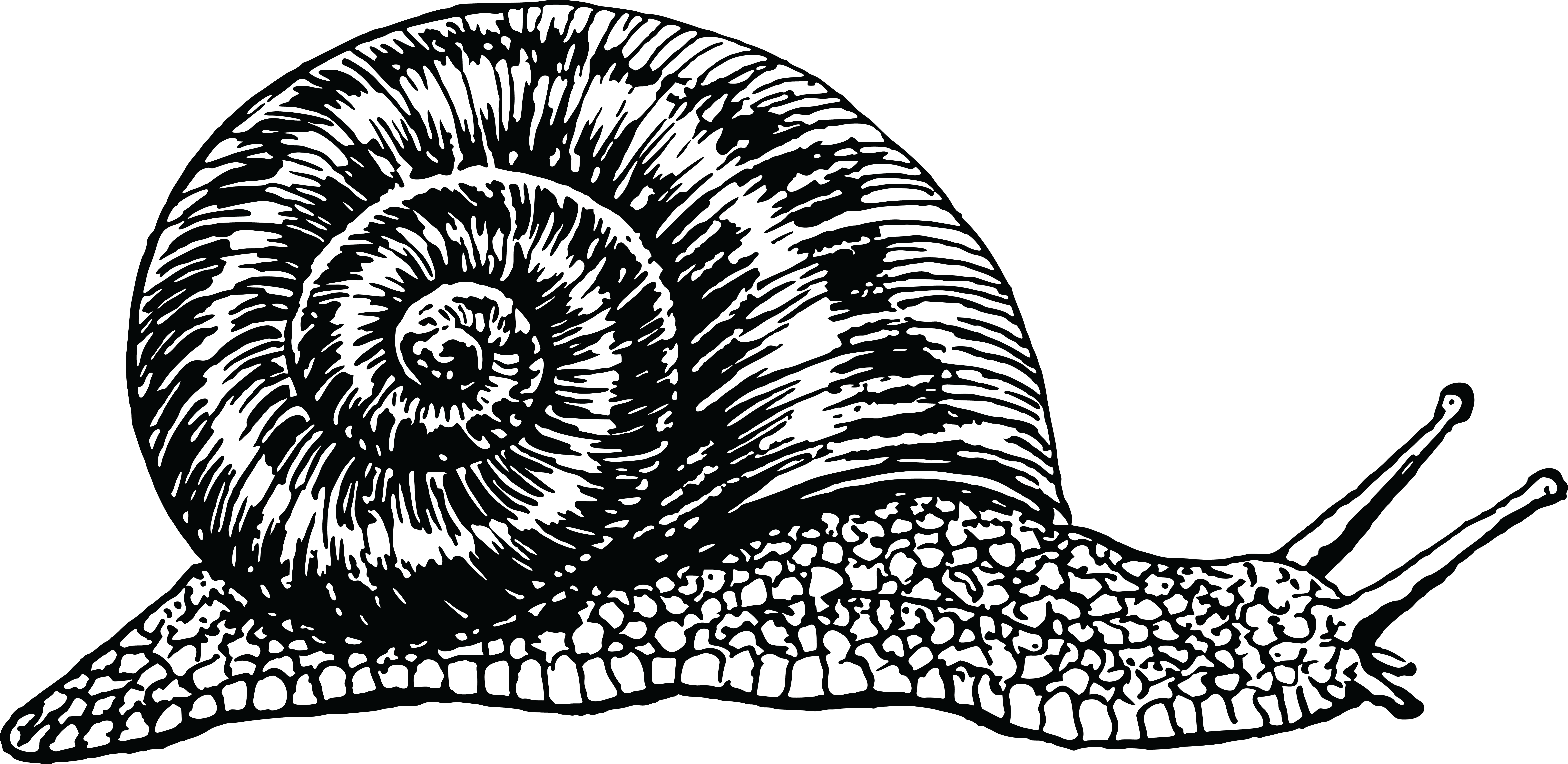 Free Clipart of a black and white snail #0001512 . - PNG Snail Black And White