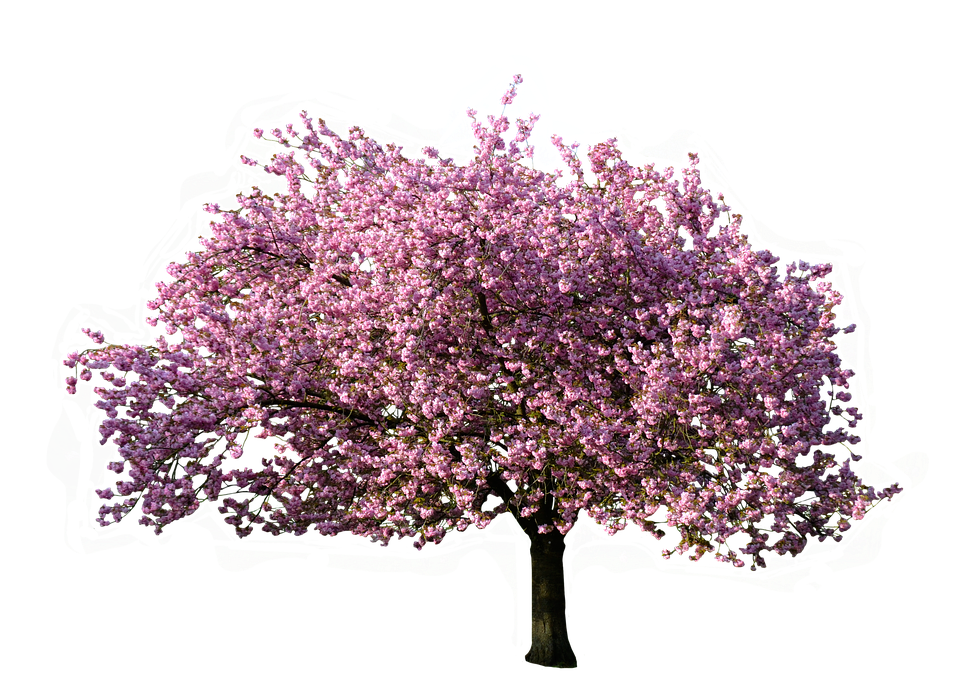 Nature, Tree, Magnolia, Blossom, Bloom, Isolated - PNG Spring Tree