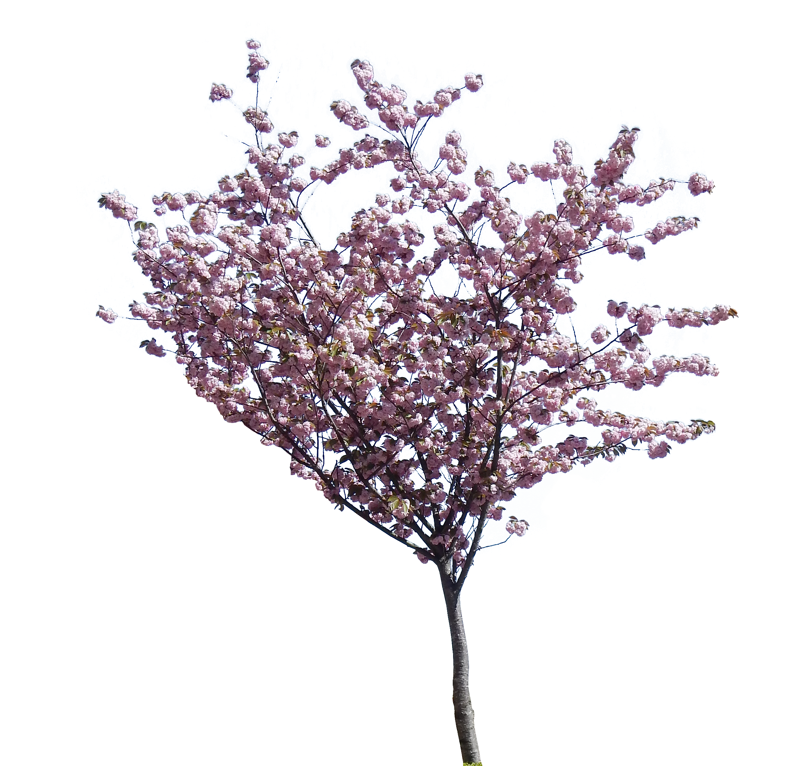 shrub medium size cherry blossom small pine tree PlusPng.com  - PNG Spring Tree