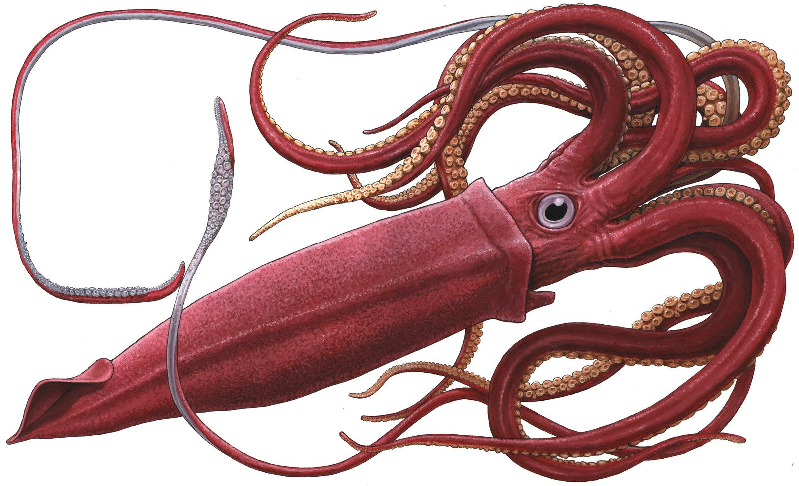 PNG Squid