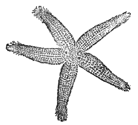 PNG Starfish Black And White - 59844