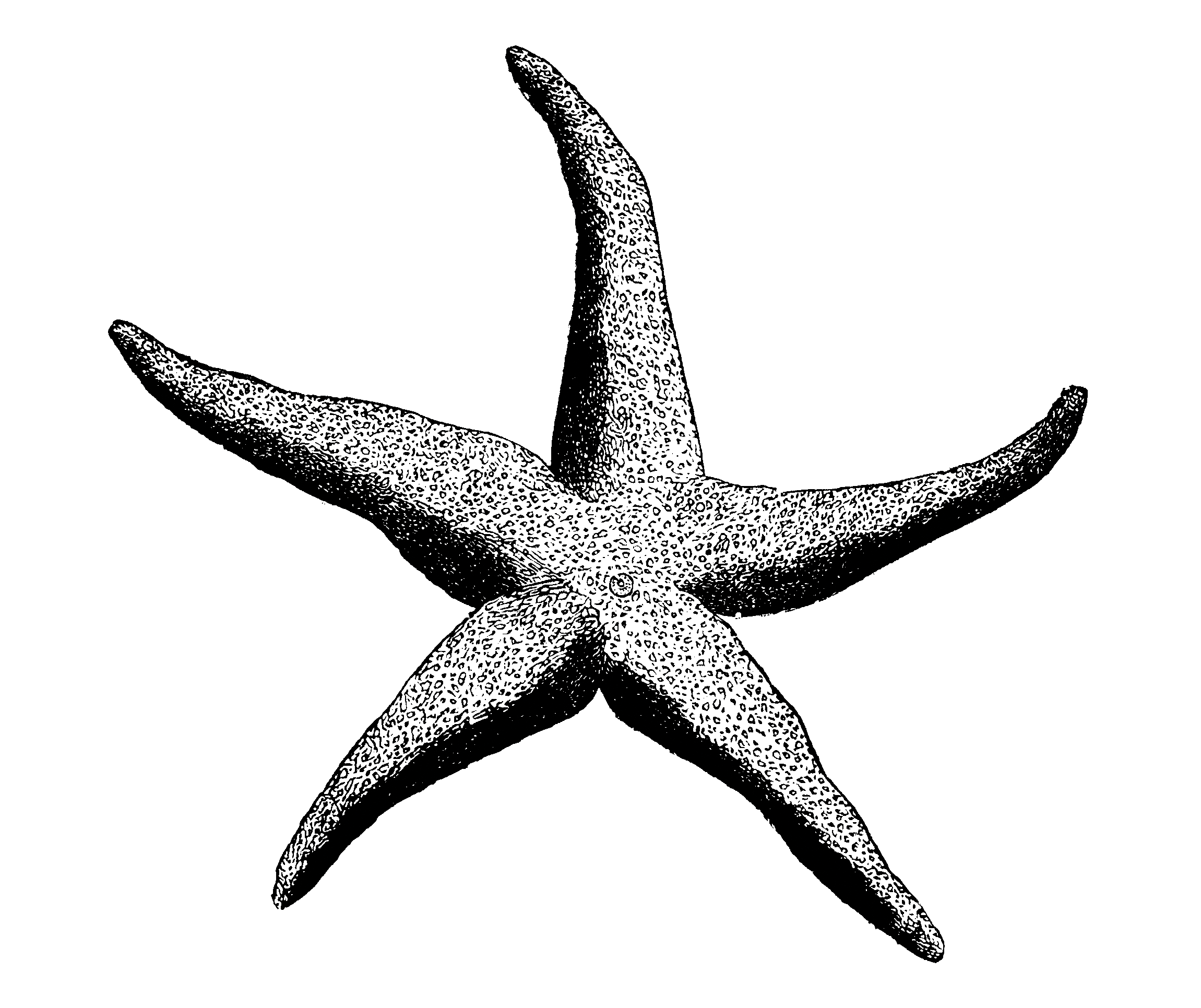 Sea Star Diversity Drawing - PNG Starfish Black And White