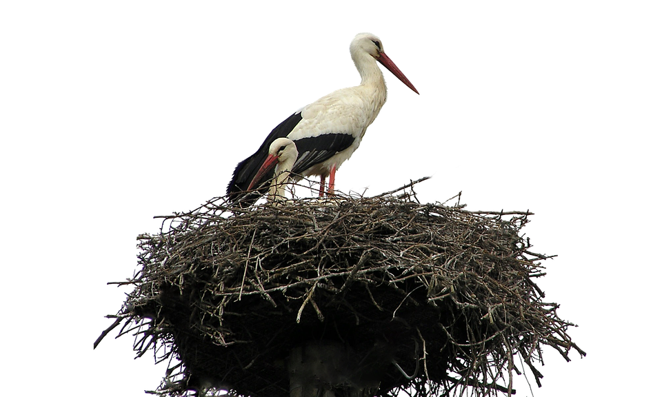 Isolated, White, Stork, Nest, Bird, Nature, Wildlife - PNG Stork