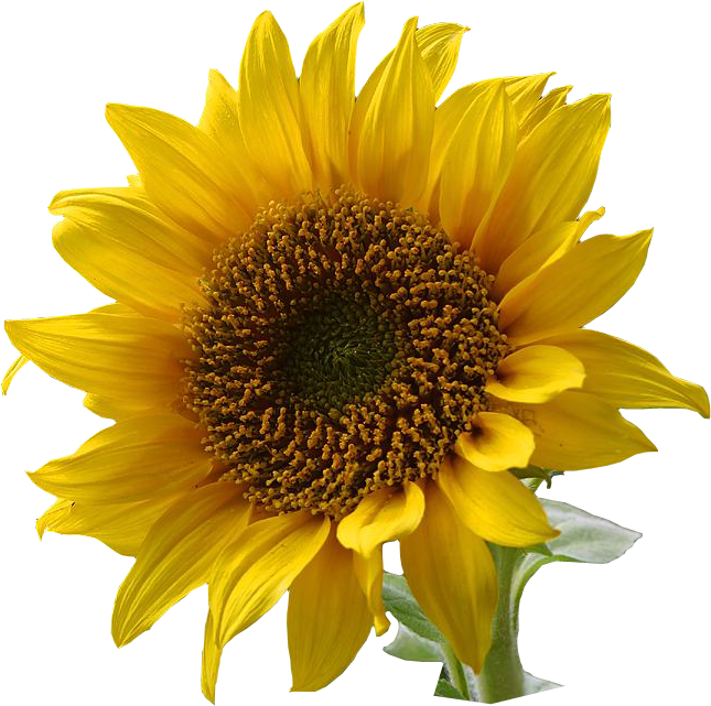 PNG Sunflower - 58132